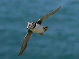 Puffin over the sea